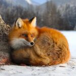The Fox APK MOD Unlimited Money for android